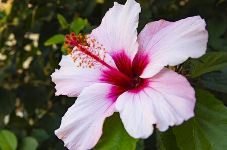 Hibiscus flower in the shade of foliage Archivio Fotografico - 132270593