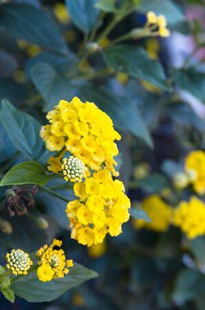 Lantana camara yellow in green leaves Archivio Fotografico - 132072897