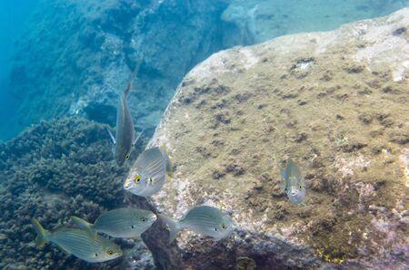 Fish at the stone seabed, salpa Archivio Fotografico - 132363610