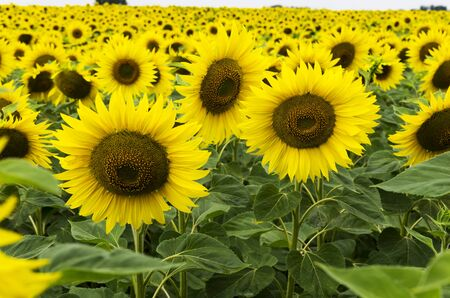 Blooming sunflowers in the field Archivio Fotografico