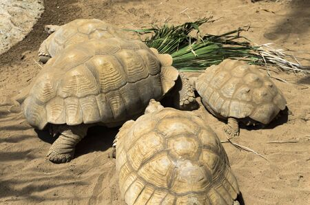 Group of giant turtles in the sand
