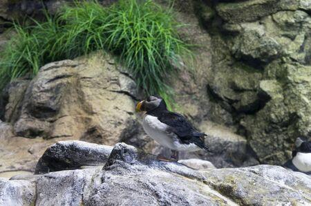 One Fratercula end bird sits on a rock Archivio Fotografico