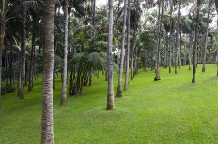 Green lawn in a palm grove