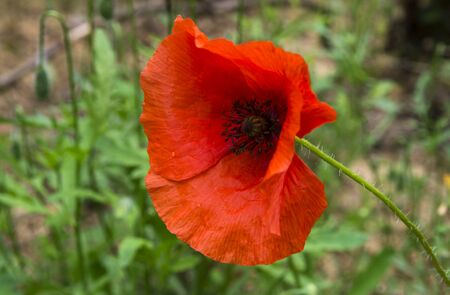 Red field poppy on a background of green grass Archivio Fotografico
