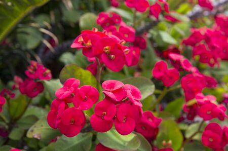 Bright red flowers of euphorbia on a background of leaves