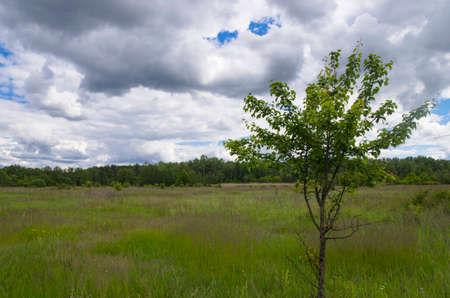 Lonely pear tree in a forest glade