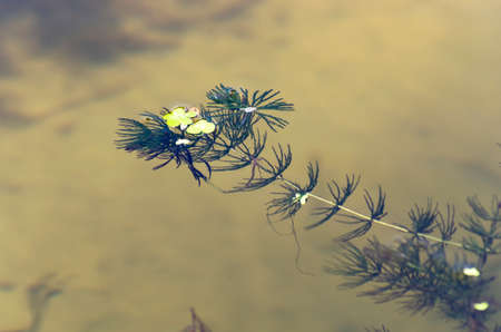 One sprig of seaweed in water Archivio Fotografico