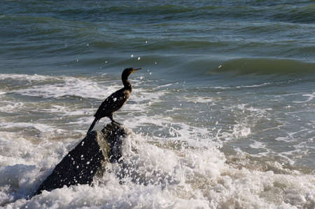 Cormorant bird sits on a stone in the sea Archivio Fotografico