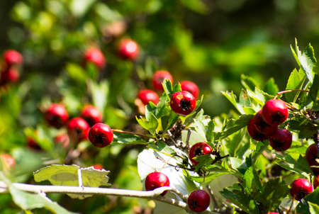 Bright red hawthorn fruit on a twig