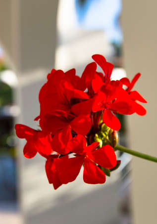 Red geranium flower on the background of the structure
