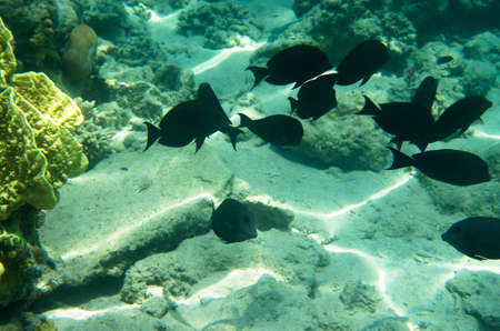 A school of black surgeon fish at the seabed
