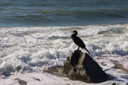Cormorant bird sits on a stone in the coastal strip of the sea