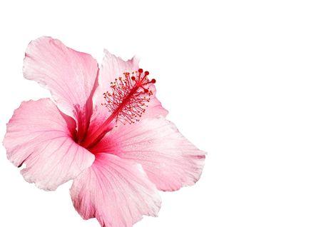stigmate: hibiscus rose fleur isol� sur blanc Banque d'images