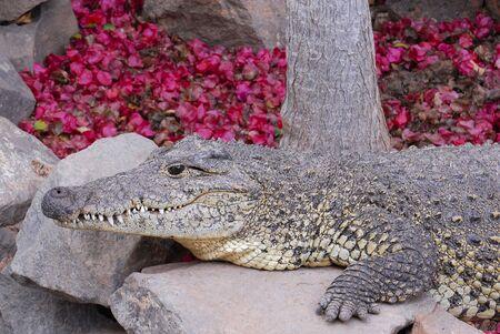 crocodile lay in tropical jungle park photo