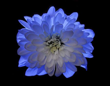white daisy: blue flower Chrysanthemum isolated on black