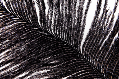 plumage: feather plumage black texture Stock Photo