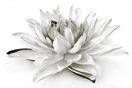 lirio blanco: flor de lis