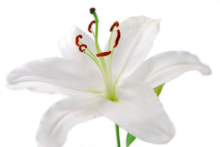 white lilly: white Lilly flower isolated on white