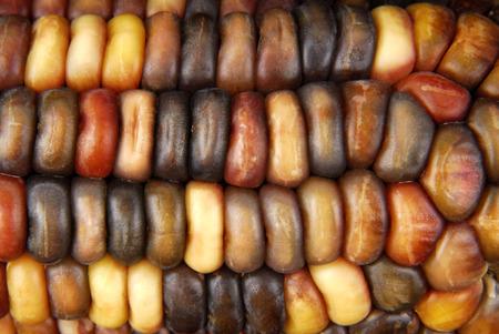 dryed: Cob corn Indian macro