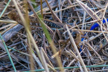 crimean: Grasshopper Crimean