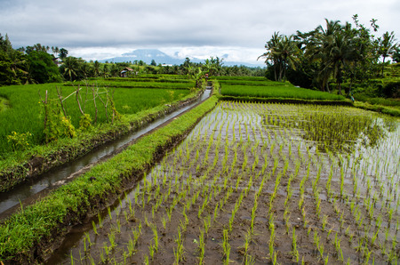 View over rice field on Bali, Indonesia.