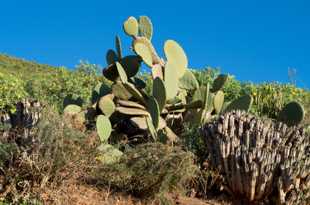 Cactus in the hills around Sidi Ifni, Morocco. Banque d'images