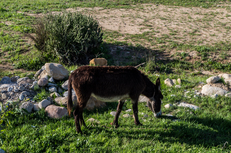 Donkey eating grass in Morocco. Banque d'images