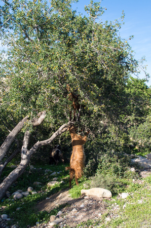 Goat reaching into a tree trying to get up, vertical.