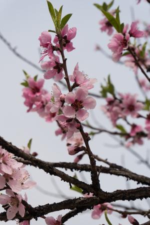 close up of sakura blooming