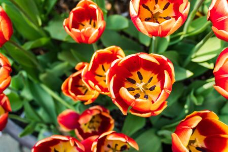 top view of tulips flower green leaf background day time 版權商用圖片