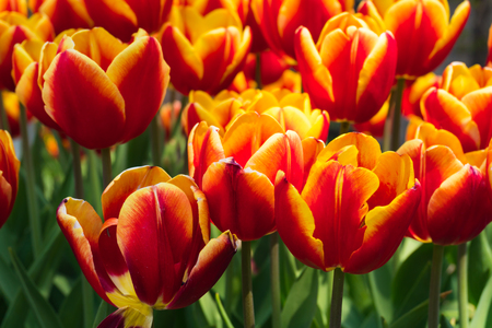 group of tulips flower green leaf background day time