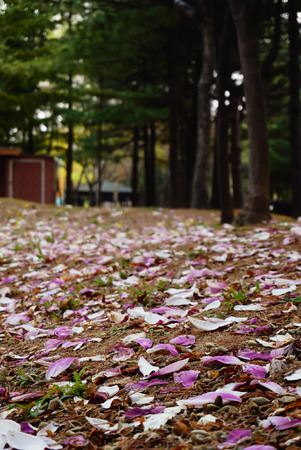 flower petal falled and covered on the ground 版權商用圖片