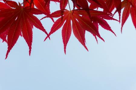 the red color leaves on  background with copy space 版權商用圖片