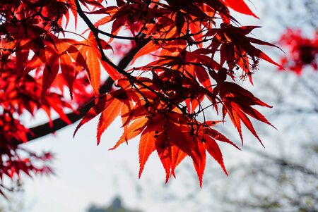 the red color leaves on the tree