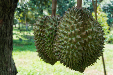 durians on the tree in garden,summer fruit of Thailand,King of fruits 版權商用圖片