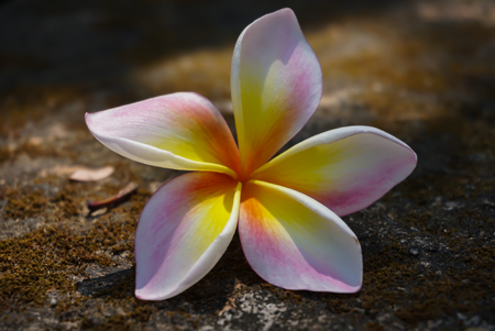 picture of plumaria flower falled on the rockground selective focus