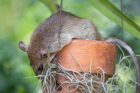 picture of brown rat on flowerpot selective focus