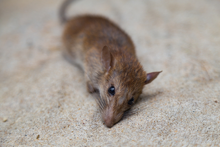 Picture of Dead rat on cement floor close up and selective focus