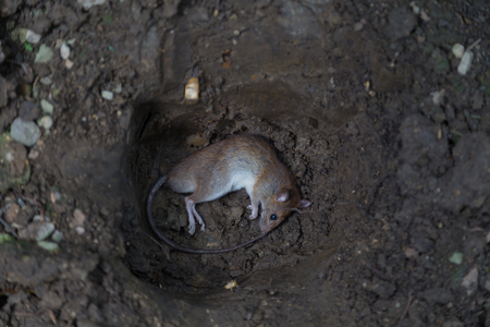 picture of brown rat carcass prepare for bury