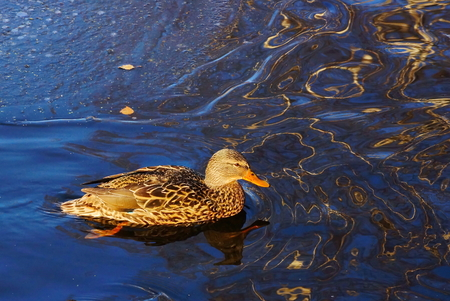 duck couple floating in blue water Stock Photo
