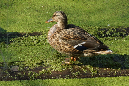 a large wild duck sits on a log in a pond