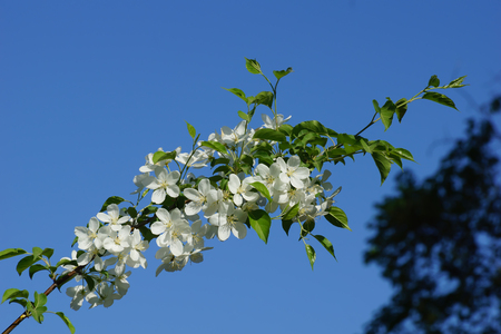 branch of blossoming white cherry in the garden blue sky beginning of summer Stock Photo