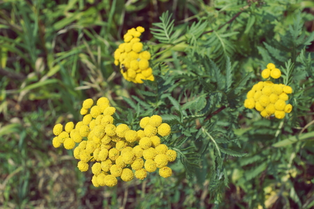 tansy blooms. yellow flower close-up Stock Photo
