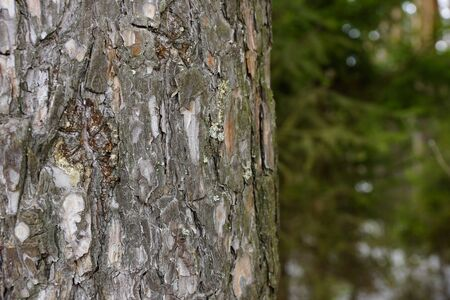 the texture of the tree bark spruce resin spring Stock Photo