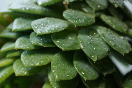 cactus Echeveria water droplets on leaves
