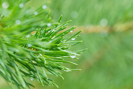 fresh-smelling resin of a coniferous tree. a branch with long pine needles raindrops glow in the sun on a blurred green background in the afternoon in summer. for cover of the magazine, calendars, postcards about protection of the wood, books about the wood and the nature Stock Photo