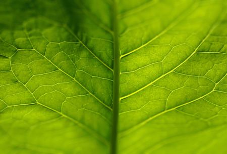 green leaf burdock veins skeleton glows in the sun. for design, web design
