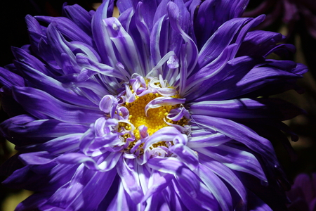 purple Aster flower on a dark background close-up. symbolize the accuracy, beauty and modesty.The petals of a flower are like the sharp ends of a star.