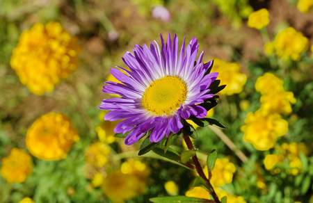 purple Aster in the garden close - up on a blurred background. sunny day