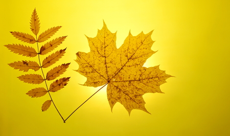 autumn gold yellow background close-up setting sun maple leaf mountain ash leaves